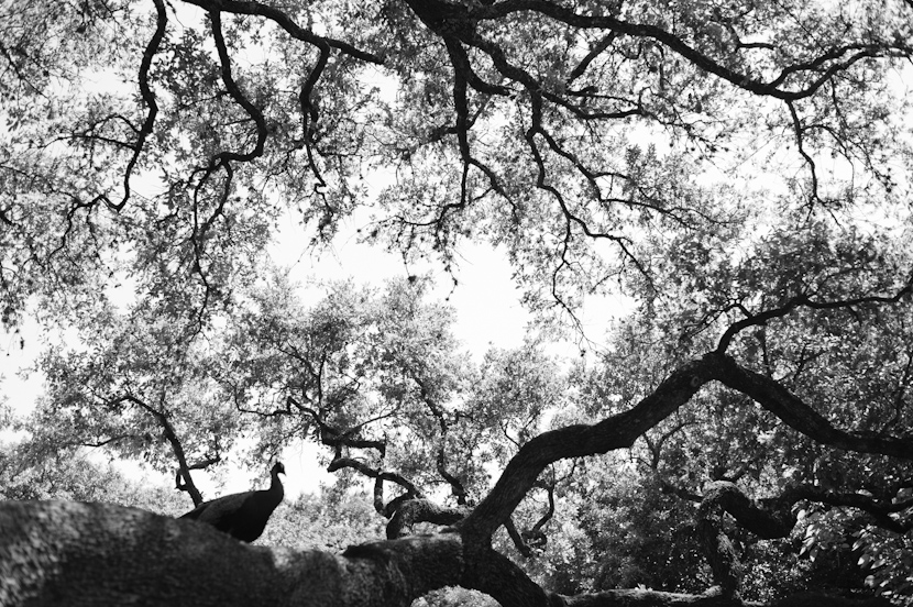 black and white shot of peacock in the trees